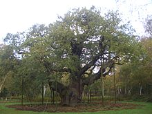 220px-Major_Oak