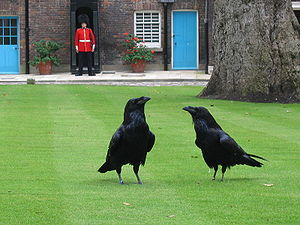 300px-London_tower_ravens