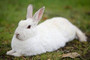 rabbit-antibodies-polyclonal-antibodies