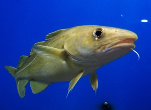 Portrait_of_Cod